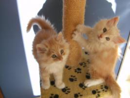 Maine coon kitten, Babys, Rassekatzen