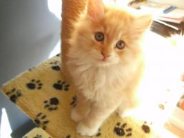 Foto 2 Maine coon kitten, Babys, Rassekatzen