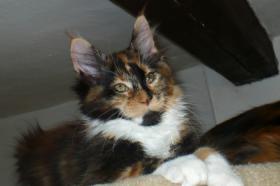 Maine coon kitten - pedigree FIFE