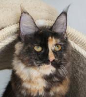 Foto 3 Maine coon kitten - pedigree FIFE
