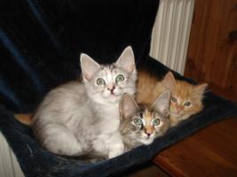 Foto 3 MaineCoon-Mädchen