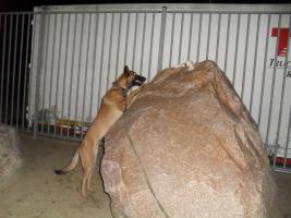 Foto 4 Malinoi im Klettertraining am Felsbrocken.   SECURITY- DOG - PATROL