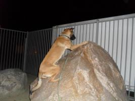 Foto 5 Malinoi im Klettertraining am Felsbrocken.   SECURITY- DOG - PATROL