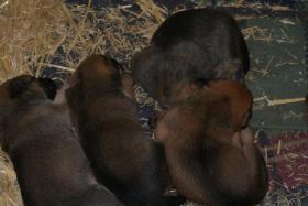 Malinois-Sch�ferhund Welpen