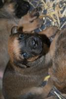 Foto 2 Malinois-Sch�ferhund Welpen