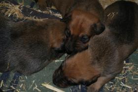 Foto 3 Malinois-Sch�ferhund Welpen