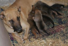 Foto 4 Malinois-Schäferhund Welpen