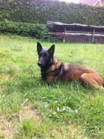 Foto 2 Malinois Welpen  ,  Belgischer Schäferhund