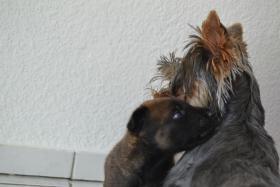 Foto 6 Malinois Welpen  ,  Belgischer Schäferhund