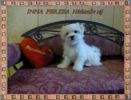 Foto 2 Malteser mit Stammbaum FCI