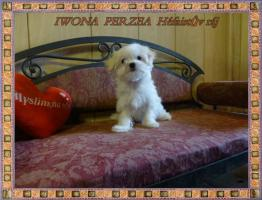 Foto 3 Malteser mit Stammbaum FCI