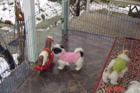 Foto 8 Malteser �hnlich, COTON de Tul�ar Welpen zu verkaufen