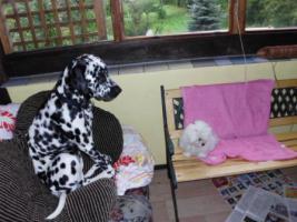 Maltesermädchen 5 Mon.Dalmatiner-Dame 3,5 Jahre