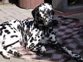 Foto 3 Maltesermädchen 5 Mon.Dalmatiner-Dame 3,5 Jahre