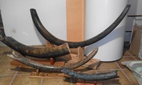 Mammutstoßzahn, Mammmutelfenbein, Mammoth Tusk, Sammlerobjekt, Antik, Sossilien