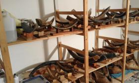 Foto 2 Mammutstoßzahn, Mammmutelfenbein, Mammoth Tusk, Sammlerobjekt, Antik, Sossilien