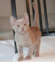 Mandalay Kitten in Lavender - Mandalay sind Burmakatzen in Vollfarbe