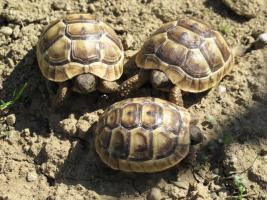 Maurische Landschildkröten - Nachzuchten 2010 - zu verkaufen