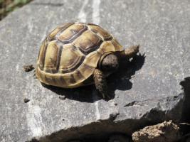 Foto 2 Maurische Landschildkröten - Nachzuchten 2010 - zu verkaufen