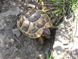 Foto 3 Maurische Landschildkröten - Nachzuchten 2010 - zu verkaufen