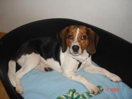 Max, Beaglerüde 1 Jahr alt...