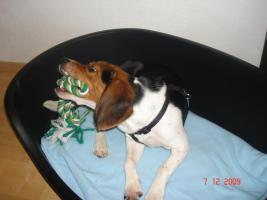 Foto 2 Max, Beaglerüde 1 Jahr alt...