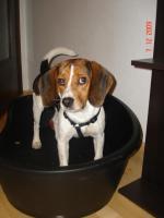 Foto 3 Max, Beaglerüde 1 Jahr alt...