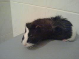 Foto 2 Meerschwein- Jungtier