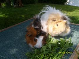Foto 2 Meerschweinchen