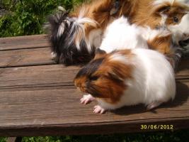 Foto 5 Meerschweinchen
