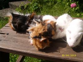 Foto 6 Meerschweinchen