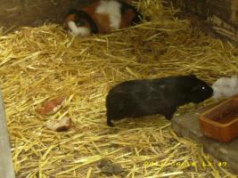 Foto 4 Meerschweinchen