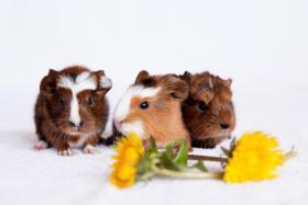 Foto 2 Meerschweinchen American Crested & Peruaner Mix
