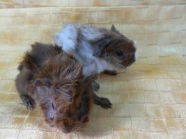 Meerschweinchen-Babies