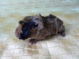 Foto 2 Meerschweinchen-Babies
