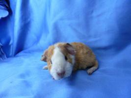 Foto 2 Meerschweinchen-Babies, Rex u. Rosette abzugeben!