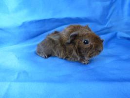 Foto 3 Meerschweinchen-Babies, Rex u. Rosette abzugeben!