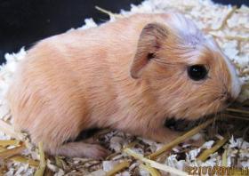 Foto 2 Meerschweinchen Baby
