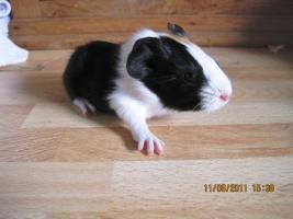 Foto 5 Meerschweinchen Baby