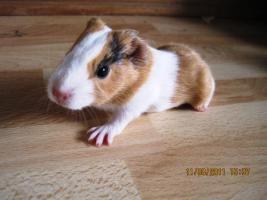 Foto 6 Meerschweinchen Baby