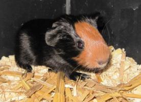 Foto 9 Meerschweinchen Baby