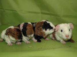 Foto 2 Meerschweinchen Babys