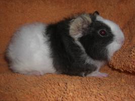 Foto 2 Meerschweinchen CH-Teddy