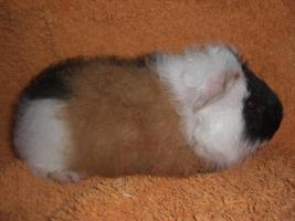 Foto 3 Meerschweinchen CH-Teddy