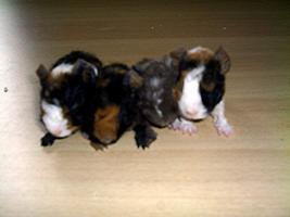 Foto 3 Meerschweinchen Direkt vom Züchter