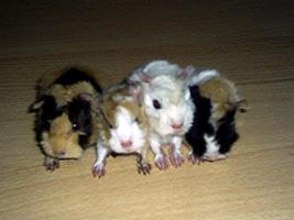 Foto 4 Meerschweinchen Direkt vom Züchter