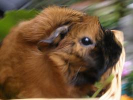 Meerschweinchen ''Frieda die Freche'' sucht ein neues Zuhause
