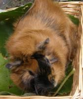 Foto 2 Meerschweinchen ''Frieda die Freche'' sucht ein neues Zuhause