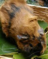 Foto 3 Meerschweinchen ''Frieda die Freche'' sucht ein neues Zuhause