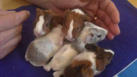 Foto 2 Meerschweinchen Nachwuchs Babys abzugeben !!
